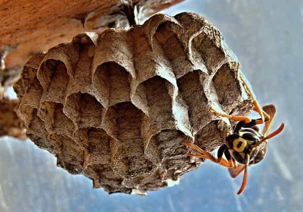 Έτσι θα Διώξετε τις Σφήκες και τις Μέλισσες