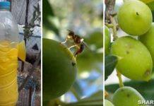 Παγιδέψτε το Δάκο της Ελιάς με Βιολογικές Παγίδες και Προστατεύστε τις Ελιές Σας! Διαβάστε Όλα Όσα Πρέπει να Ξέρετε!