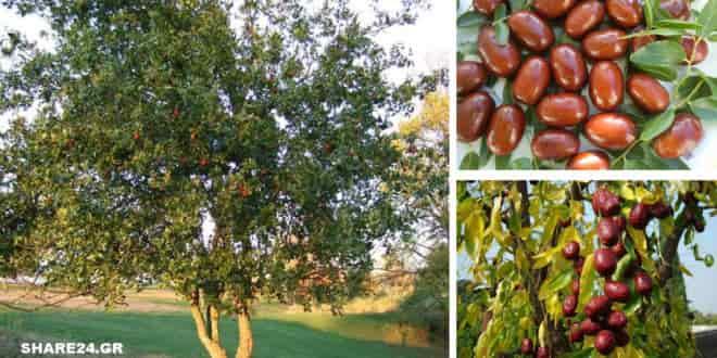 Τζιτζιφιά – Οι Θαυμαστές Ιδιότητές του που το έχουν Κάνει Γνωστό σαν Δέντρο Γιατρός