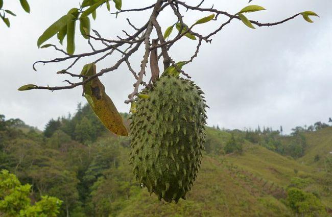 Χρόνια Κρύβουν οι Φαρμακευτικές το Φρούτο που Θεραπεύει τον Καρκίνο.