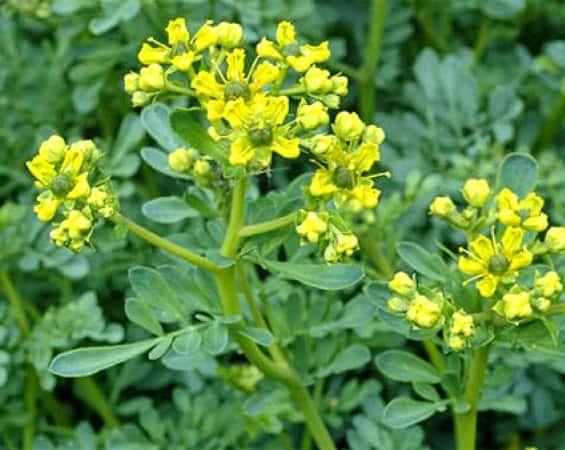 Απήγανος: Το Φυτό που Διώχνει την Γρουσουζιά και την Αρνητική Ενέργεια
