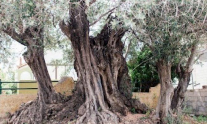 Η «Ελιά της Όρσας»: Το Δέντρο 2500 ετών στη Σαλαμίνα που Έζησε τη Μεγάλη Ναυμαχία του 480 π.Χ