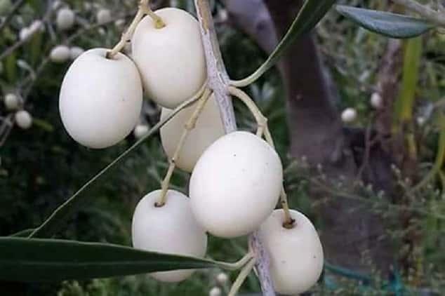 Λευκές Ελιές: Μια Σπάνια Ποικιλία με Καταγωγή από τα Αρχαία Χρόνια
