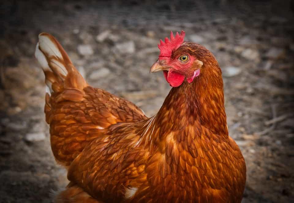 Ανέκδοτο: Ένας οδηγός επέστρεφε στην Αθήνα όταν είδε μία κότα που έτρεχε με 200