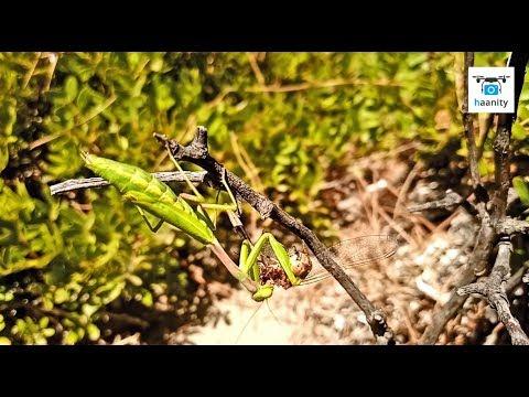 Αλογάκι της Παναγίας καταβροχθίζει λιβελούλη σε ένα βίντεο από Εθνικό Πάρκο Σχοινιά Μαραθώνα